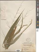 view Phaenosperma globosum Munro ex Benth. digital asset number 1