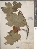 view Liriodendron tulipifera L. digital asset number 1