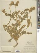 view Astragalus mollissimus var. bigelovii (A. Gray) Barneby ex B.L. Turner digital asset number 1