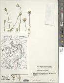 view Achyrachaena mollis Schauer digital asset number 1