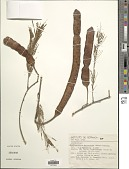 view Anadenanthera macrocarpa (Benth.) Brenan digital asset number 1