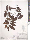 view Hirtella bicornis var. pubescens Ducke digital asset number 1