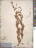 view Gillenia stipulata (Muhl. ex Willd.) Nutt. digital asset number 1
