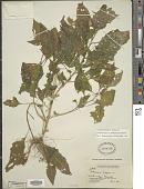 view Solanum nigrescens M. Martens & Galeotti digital asset number 1
