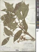 view Guarea glabra subsp. microcarpa (C. DC.) T.D. Penn. digital asset number 1