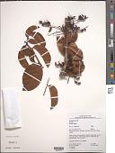 view Rourea ligulata Baker digital asset number 1
