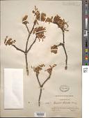 view Quercus stellata Wangenh. digital asset number 1