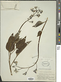 view Cynoglossum grande Douglas ex Lehm. digital asset number 1