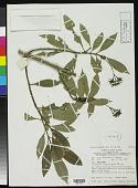 view Psychotria magnasepala Sohmer digital asset number 1