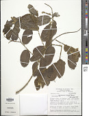 view Securidaca planchoniana Killip & Dugand digital asset number 1