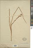 view Gladiolus tritoniiformis Kuntze digital asset number 1