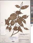 view Oxandra espintana (Spruce ex Benth.) Baill. digital asset number 1