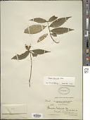 view Rinorea melanodonta S.F. Blake digital asset number 1