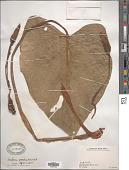 view Homalomena aromatica (Spreng.) Schott digital asset number 1