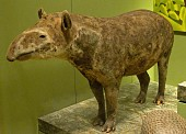 view Tapirus terrestris digital asset number 1