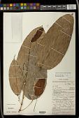 view Hancea griffithiana (Müll. Arg.) S.E.C.Sierra et al. digital asset number 1