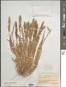 view Agrostis foliata Hook. f. digital asset number 1