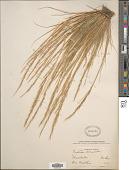 view Festuca bromoides L. digital asset number 1