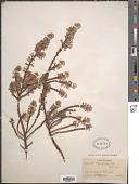 view Alchemilla argyrophylla Oliv. digital asset number 1