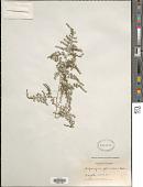 view Asparagus plumosus Baker digital asset number 1