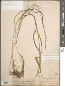 view Elymus trachycaulus (Link) Gould ex Shinners digital asset number 1