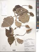 view Helicteres baruensis Jacq. digital asset number 1