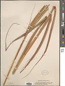 view Tripsacum dactyloides (L.) L. digital asset number 1