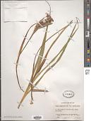 view Luzula campestris (L.) DC. digital asset number 1