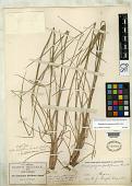 view Andropogon hirtiflorus var. brevipedicellatus Beal digital asset number 1