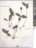 view Stanfieldiella brachycarpa (Mildbr.) Brenan digital asset number 1
