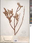 view Salix pseudocordata (Andersson) Andersson ex Rydb. digital asset number 1
