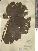 view Gunnera insignis (Oerst.) A. DC. digital asset number 1