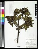 view Psychotria dienieusis Merr. & L.M. Perry digital asset number 1