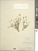 view Erigeron nudiflorus Buckley digital asset number 1