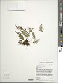 view Dryopteris glabra (Brack.) Kuntze digital asset number 1
