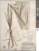 view Dimeria chloridiformis (Gaudich.) Schum. & Lauterb. digital asset number 1