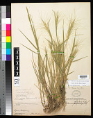view Elymus elymoides (Raf.) Swezey digital asset number 1