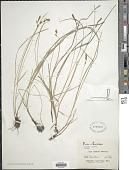 view Carex tumulicola Mack. digital asset number 1