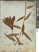 view Lilium japonicum digital asset number 1