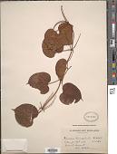 view Dioscorea brevispicata De Wild. digital asset number 1