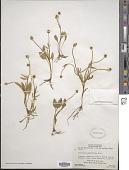 view Ranunculus glaberrimus Hook. digital asset number 1