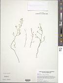 view Bartonia paniculata (Michx.) Muhl. digital asset number 1