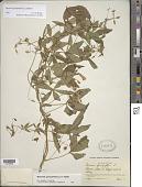 view Merremia quinquefolia (L.) Hallier f. digital asset number 1