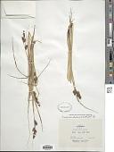 view Carex serratodens W. Boott digital asset number 1
