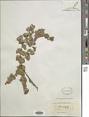 view Rafnia perfoliata E. Mey. digital asset number 1