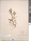 view Potamogeton obtusifolius Mert. & W.D.J. Koch digital asset number 1