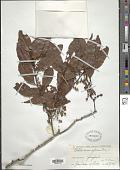 view Ochthocosmus africanus Hook. f. digital asset number 1