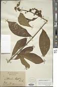 view Callicarpa longifolia Lam. digital asset number 1