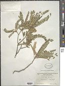 view Alvaradoa amorphoides Liebm. digital asset number 1