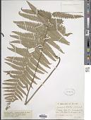 view Cyclosorus interruptus (Willd.) H. Itô digital asset number 1